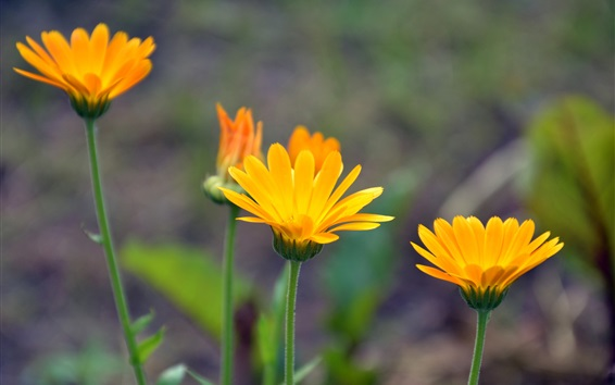 Обои Цветы календулы крупным планом