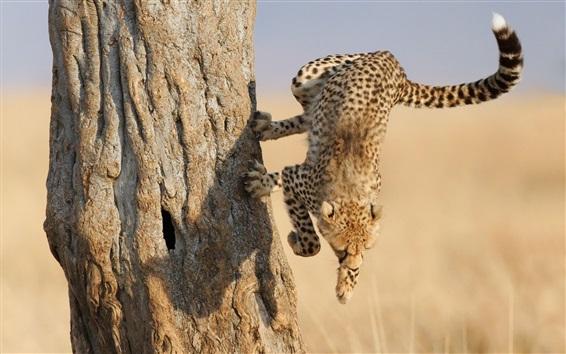 Wallpaper Cheetah jump down from tree