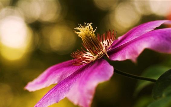 Papéis de Parede Clematis flores, roxo pétalas macro fotografia