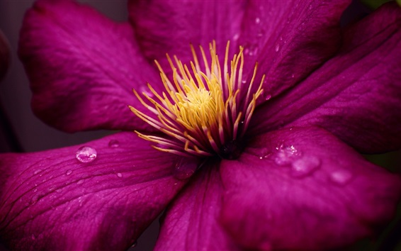 Fondos de pantalla Clematis macro fotografía, pétalos de color púrpura, rocío