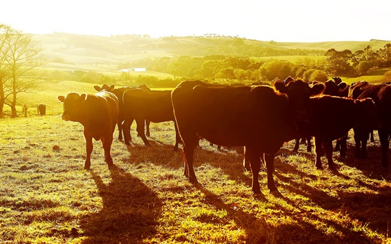 Papéis de Parede Vacas, pôr do sol