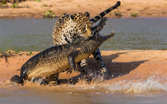 Wallpaper Crocodile and jaguar hunting