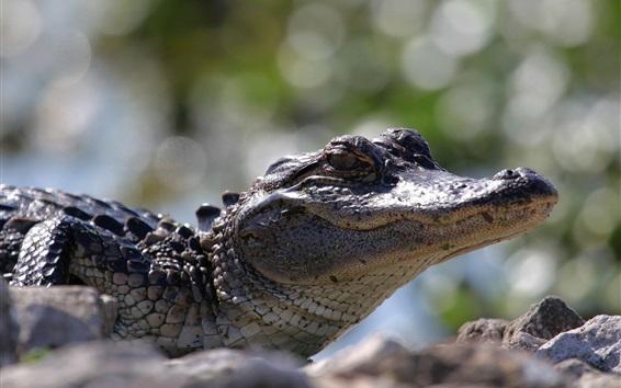 Обои Крупный крокодил, крупный план, боке