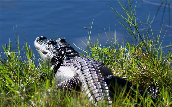 Papéis de Parede Descanso de crocodilo no lado da lagoa