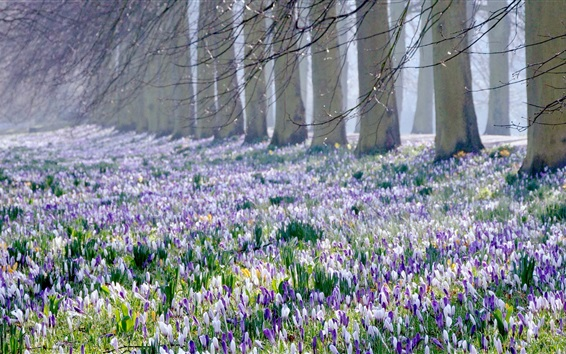 Wallpaper Crocus fields, trees, spring