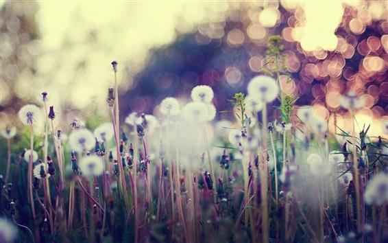 Обои Одуванчик, полевые цветы, блики, размытый фон