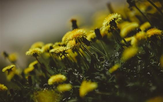 Wallpaper Dandelions flowers, yellow petals, blurry