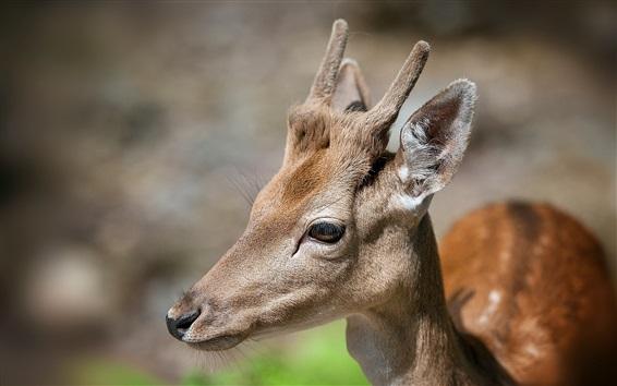 Wallpaper Deer face close-up