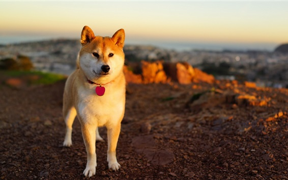 Wallpaper Dog at sunset, front view