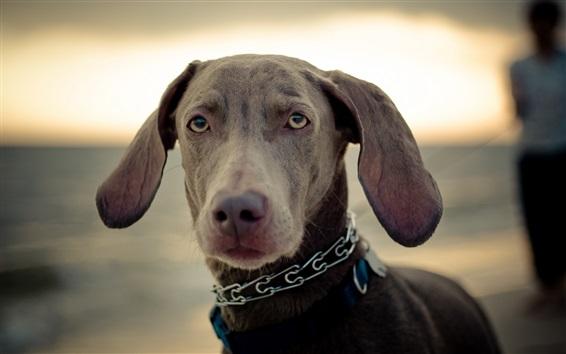 Обои Вид спереди собаки, уши, рот