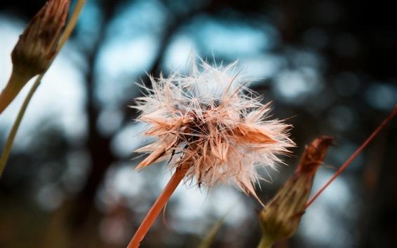 배경 화면 마른 민들레 꽃, 씨앗