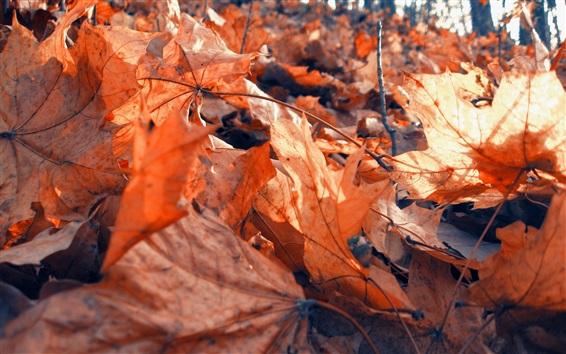 Обои Сухие листья клена, красный, осень