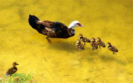 Wallpaper Ducks family, water