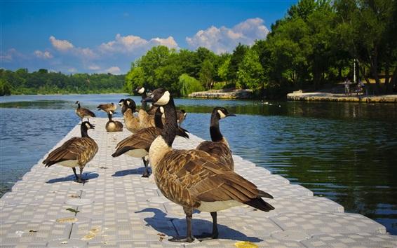 Fondos de pantalla Patos descansan, lago