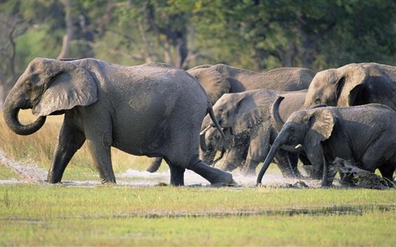 Обои Семья слонов