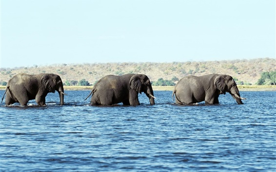 Wallpaper Elephants walk in water