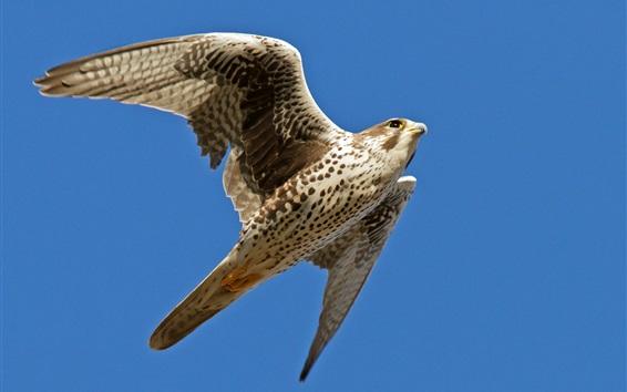 Papéis de Parede Falcão voando, asas, céu azul