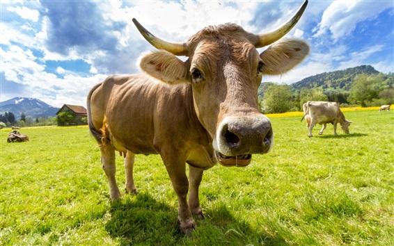 Обои Ферма, животные, коровы, трава