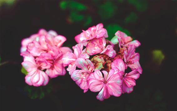 Wallpaper Flowers close-up, pink petals, bokeh