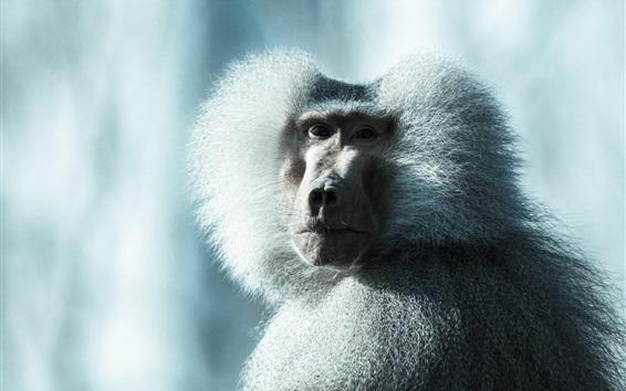 Wallpaper Fluffy monkey, baboon, look back