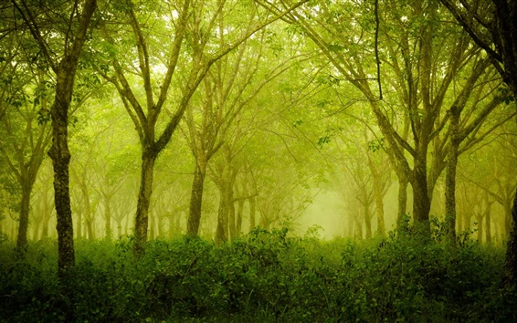Wallpaper Foggy forest, green, trees