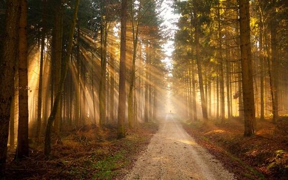 Papéis de Parede Floresta, caminho, árvores, dourado, sol, raios