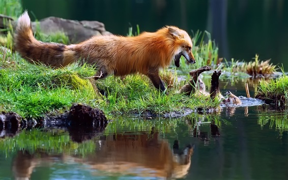 Wallpaper Foxes playful, grass, water