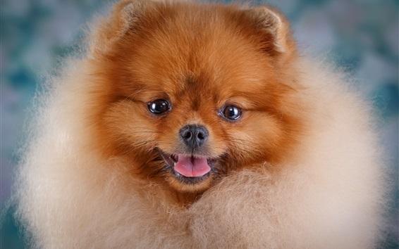 Обои Пушистая собака, вид спереди, лицо, глаза