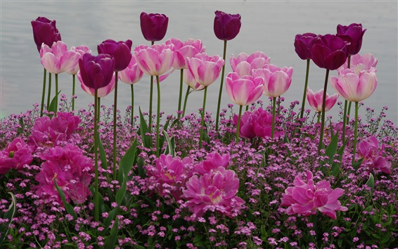 Wallpaper Garden flowers, pink and purple tulips