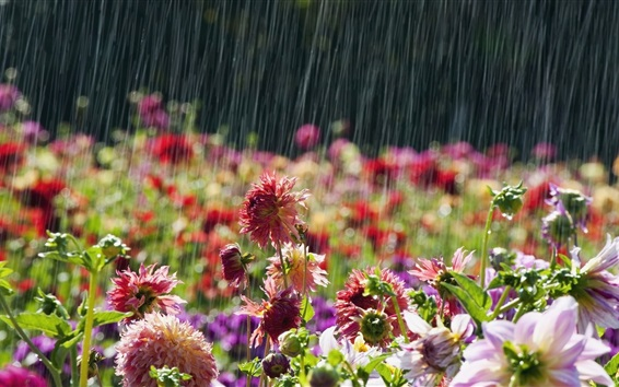 Wallpaper Garden flowers, rainy