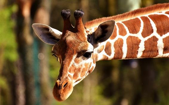 Обои Жираф головой вниз