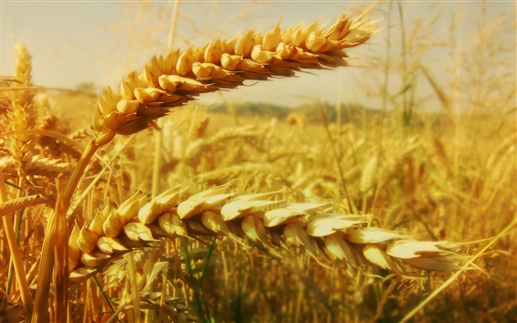 Обои Золотая пшеничная фотография