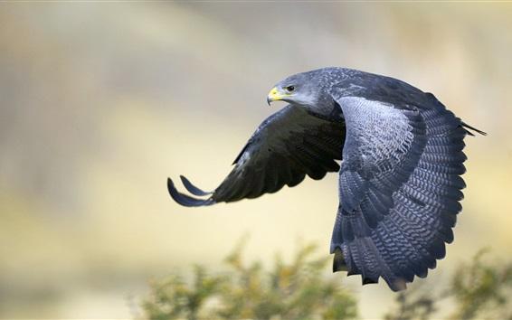 Wallpaper Gray eagle flying, wings