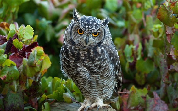 Wallpaper Gray feather owl, leaves, bokeh