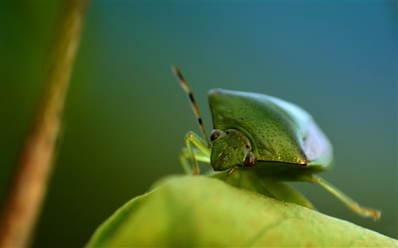 Wallpaper Green bug