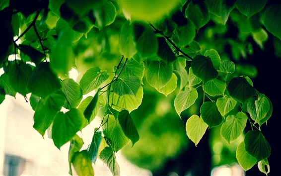 Fond d'écran Feuillage vert, air frais