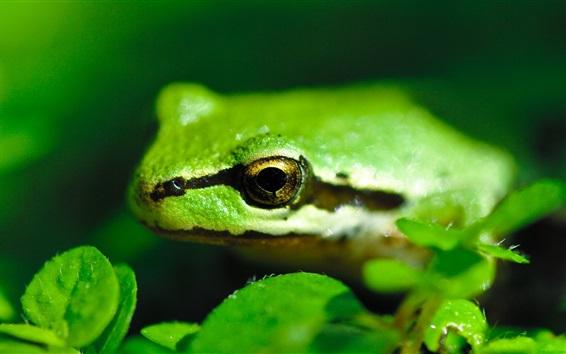 배경 화면 녹색 개구리 근접, 녹색 잎