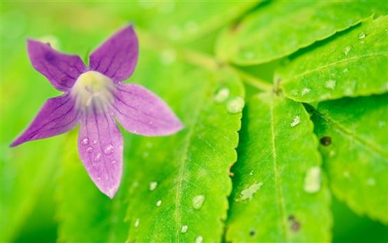 Papéis de Parede Folhas verdes, flor roxa, gotas de água