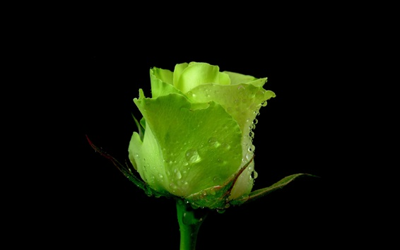 Green Rose, Dew, Black Background Wallpapers