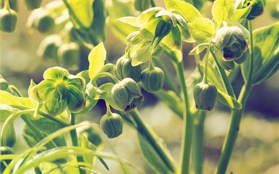 Papéis de Parede Hellebore, brotos florais verdes, folhas