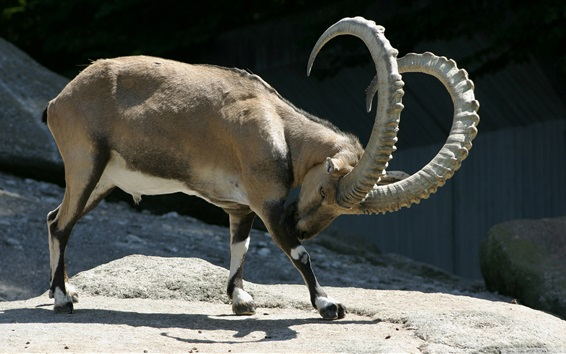 Wallpaper Ibex long horns