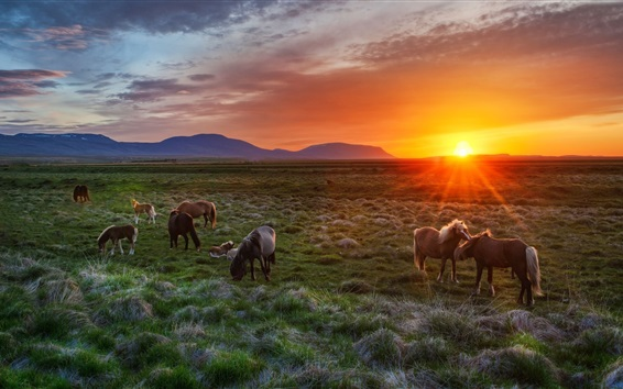 Wallpaper Iceland, sunset, grass, horses
