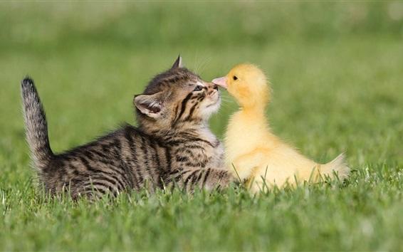 Fond d'écran Chaton et canard, amitié