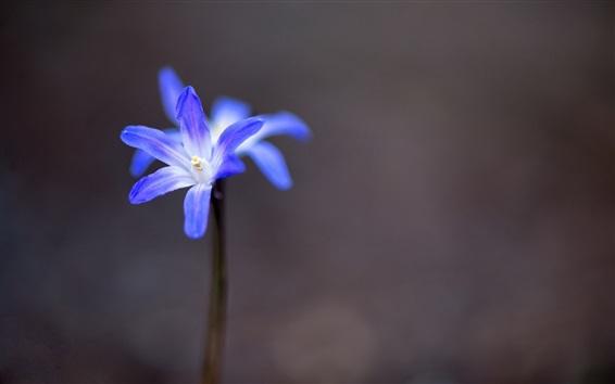 Papéis de Parede Pequeno, azul, pétalas, flor, close-up, caule