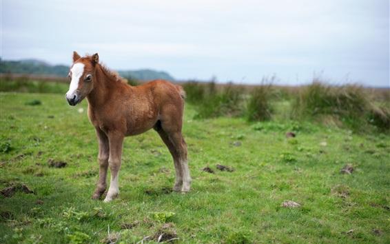 Wallpaper Little brown horse, grass