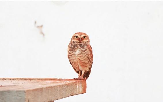 Обои Маленькая сова, боковая сторона, белый фон