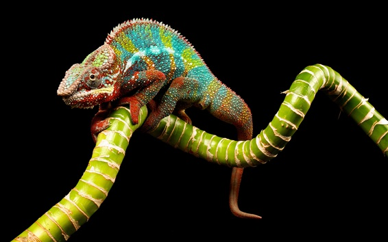 Wallpaper Lizard close-up, black background