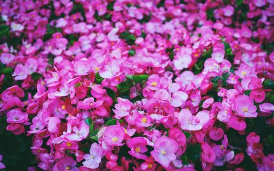 Wallpaper Many pink flowers, lawn