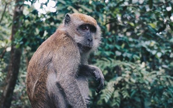 Fond d'écran Le singe s'assied, regarde