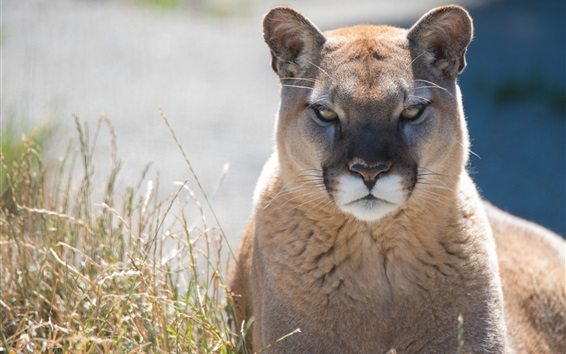 wallpaper mountain lion front view cougar hd picture image. Black Bedroom Furniture Sets. Home Design Ideas